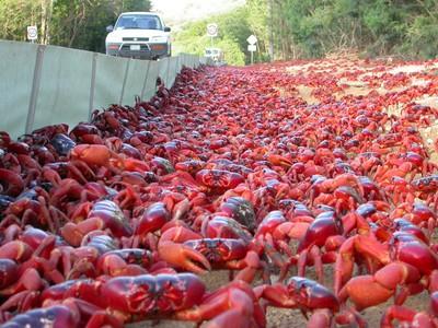 紅色生物入侵!螃蟹佔領澳洲聖誕島