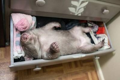 小袋熊新技能,打開衣櫃抽屜睡萌覺❤