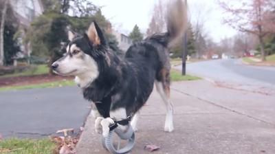 天生畸形腿,3D列印讓狗狗如願奔跑