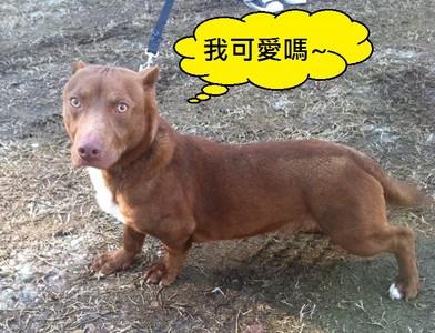 比特犬臉蛋+臘腸短腿,牠不是修圖啦