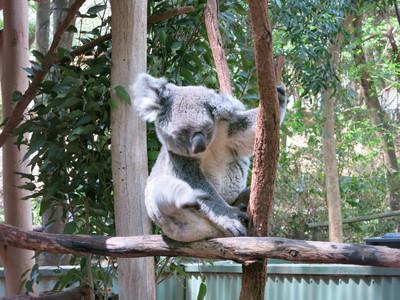 來趟龍柏動物園,享受被無尾熊襲胸❤