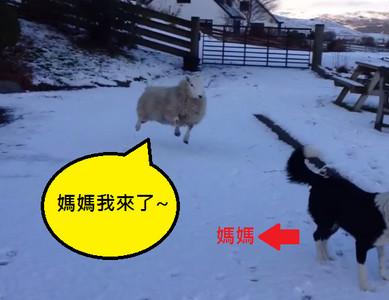 頂著圓圓身軀,羊咩咩跟狗一樣四腳跳