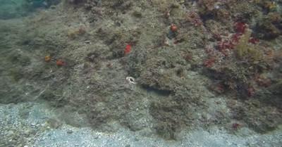 挑戰找擬態章魚!不管看幾次都0破綻