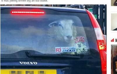 英駕駛紅燈遇綿羊貼窗「狠瞪」