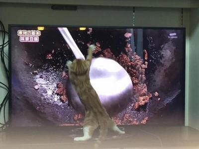 使出貓貓拳炒菜,撲鍋小貓姿勢滿分!
