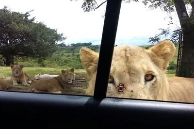 本來超愛獅子,直到被牠開了車門lol