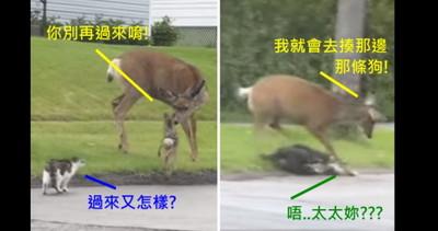 貓咪玩弄小鹿,母鹿氣得暴打狗狗(咦)