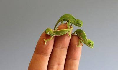 5公分變色龍寶寶,小到只能待手指上