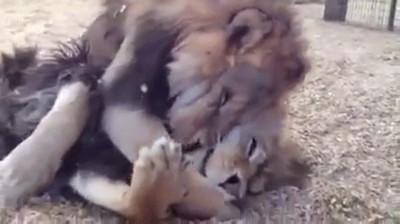 逃出黑暗馬戲團,獅子兄弟緊緊擁抱
